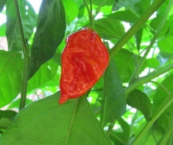 Семена острого перца Red Savina, купленные на Ebay